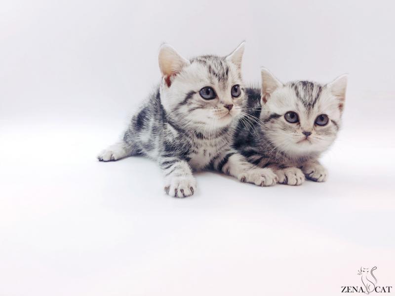 아메리칸숏헤어 - 피노&피슈